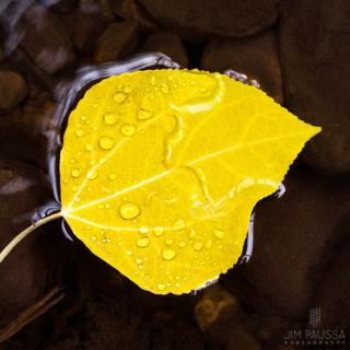 Paussa-leaf